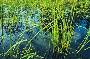 Wild rice growing in water