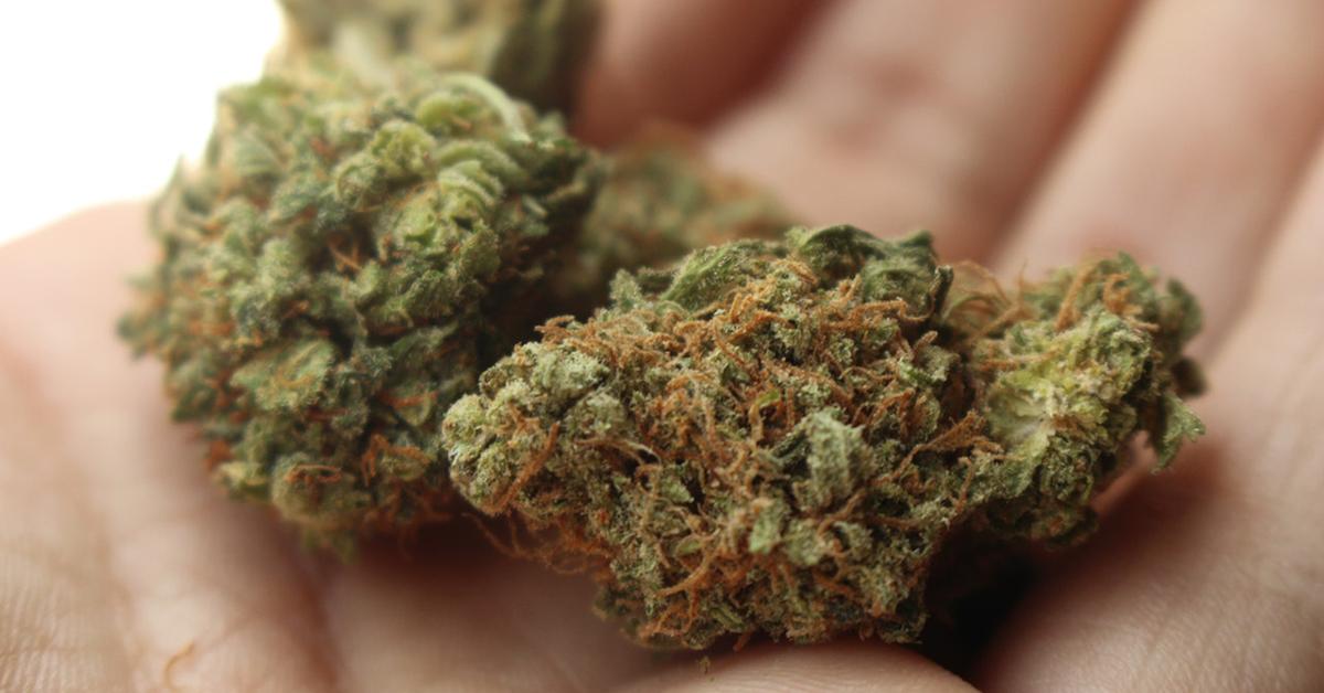 Small sample of harvested marijuana.